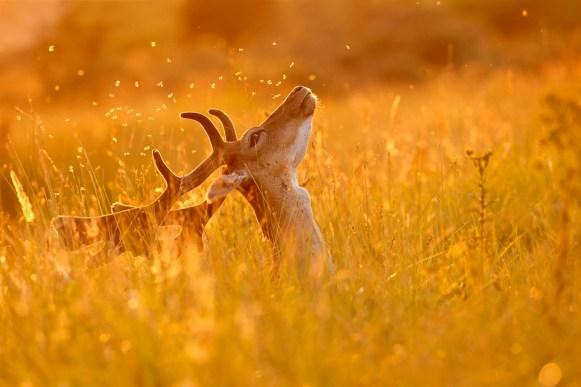 fallow deer backlit