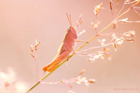 pink grasshopper erythrism