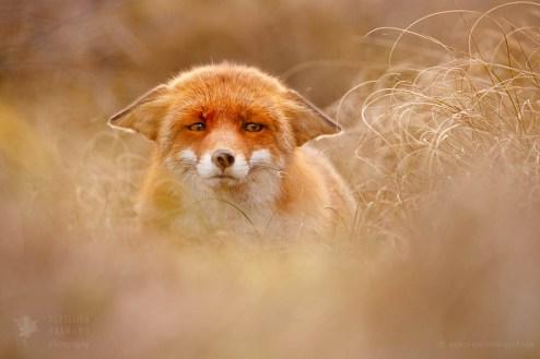 Funny fox