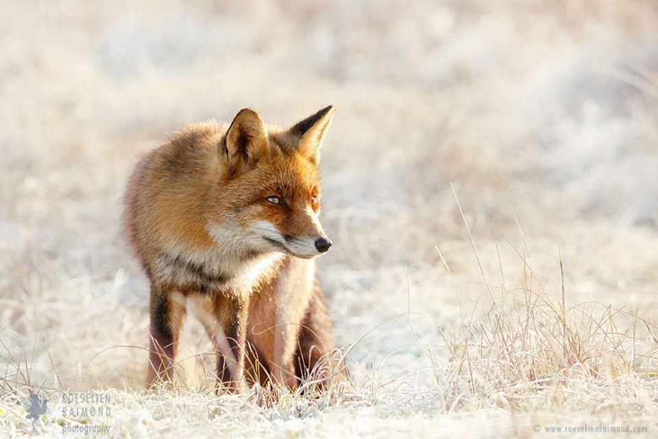 Red Fox in a rime covered landscape