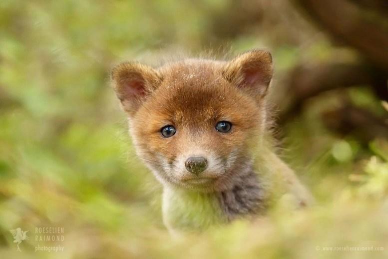 Cute fox kit