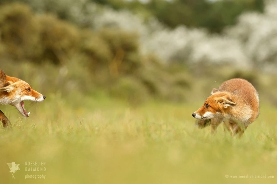 Red fox conflict