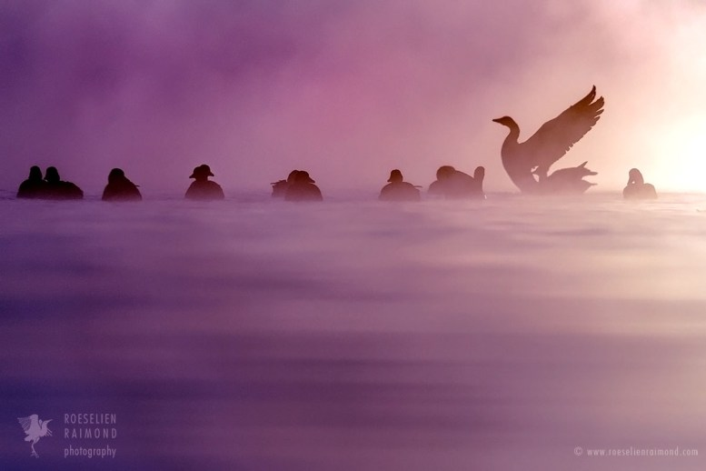 Geese in the mist at sunrise