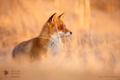 Red Fox at sunset