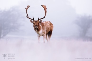 Fallow deer in a Wintery World