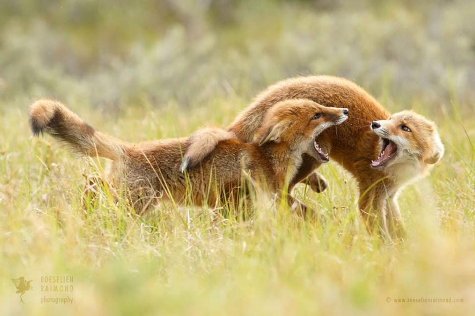 Playing red fox kits
