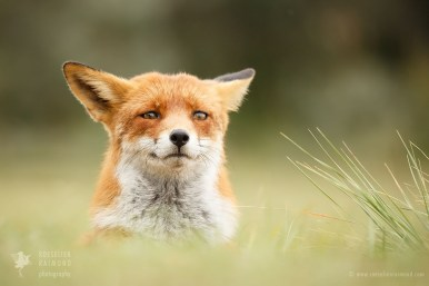 Fox with funny face
