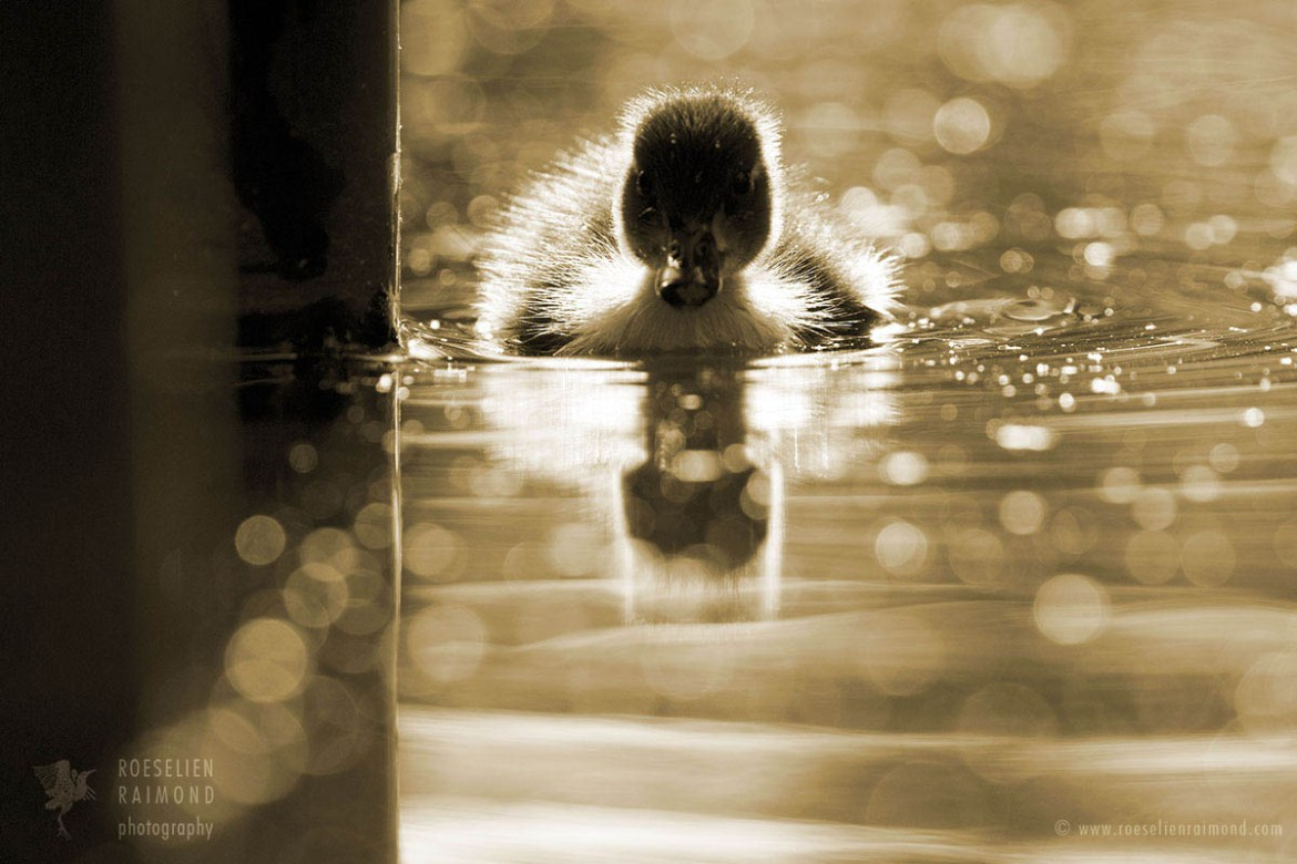 Duckling in the pool