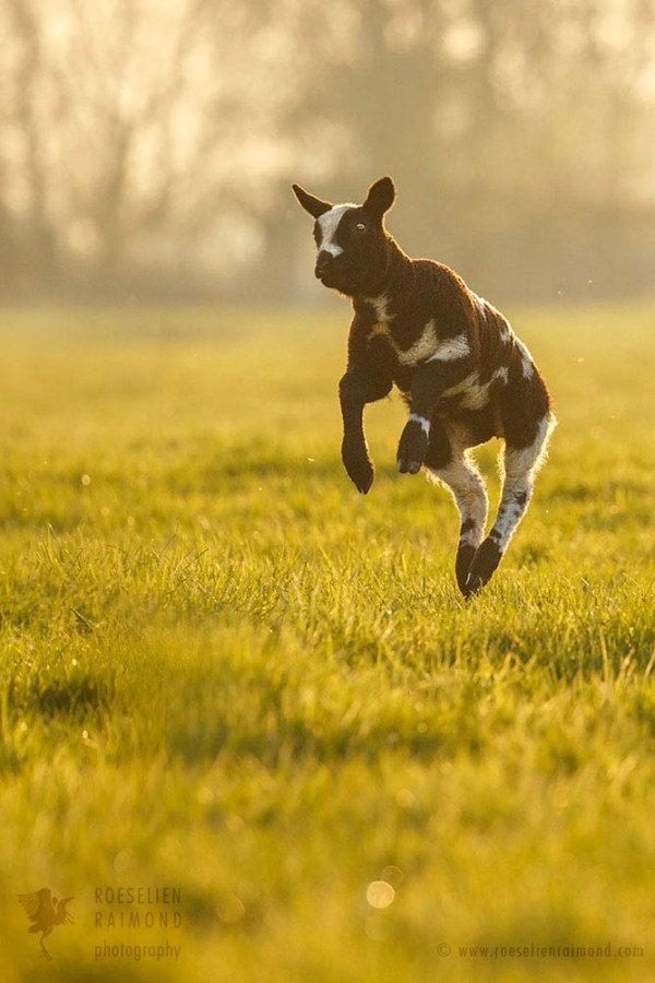 Enthusiastically jumping lamb