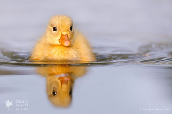 Yellow duckling mirrorrred in the water surface