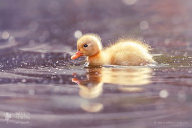 Yellow duckling in the water