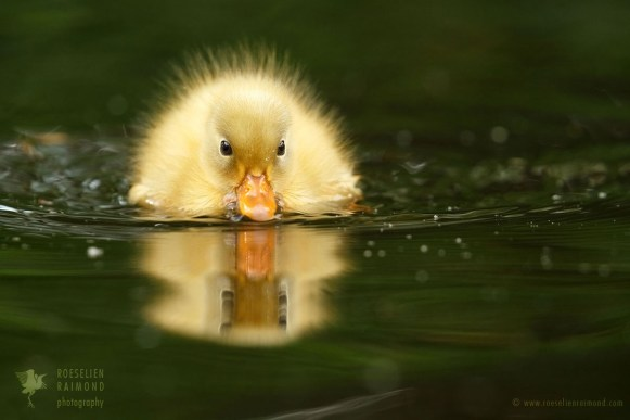 Yellow duckling and its reflection