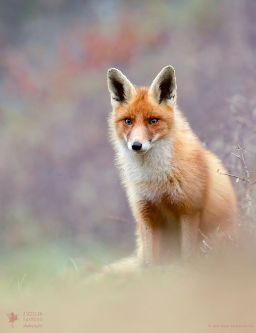 Red Fox - Like a Painting I