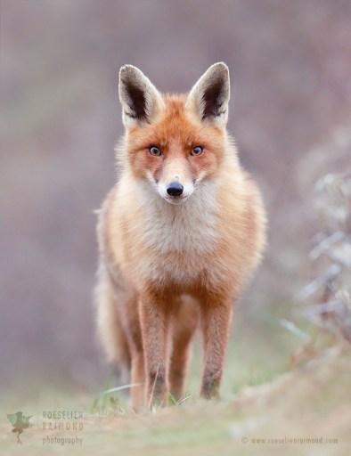 Red Fox Beauty