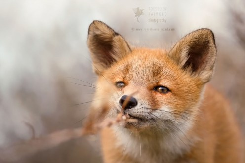 Playful young fox