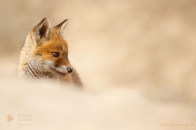 Fox cub in the sand