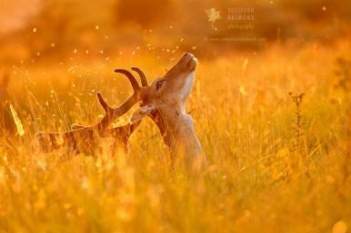 Fallow Deer at Sundown