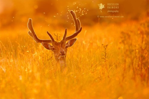 Fallow Deer at sunset, surrounded by flies