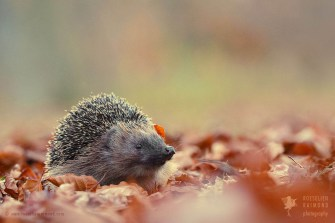 hedgehog daytime