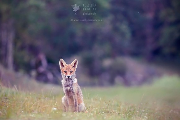 Red Fox Blue Hour