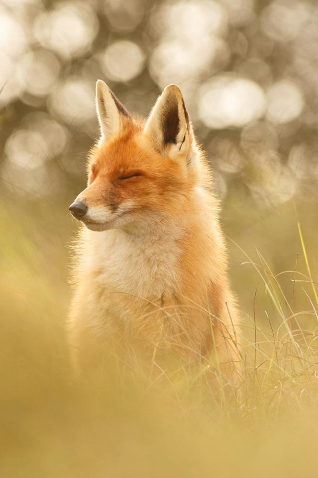 zen fox series