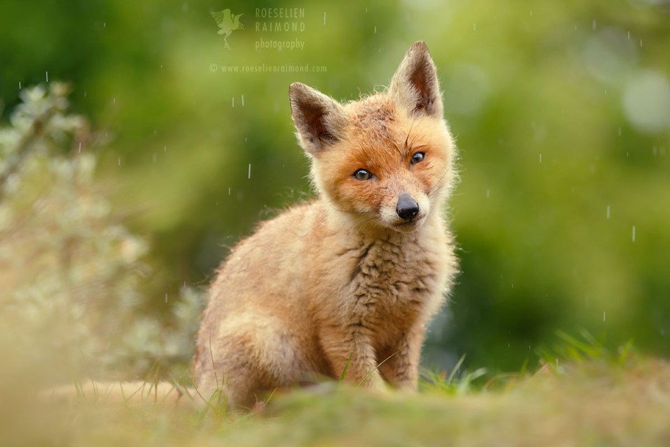 Red Fox Cub in the Rain