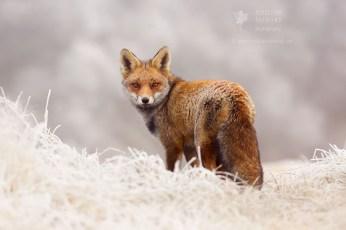 red fox rime