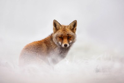 red fox face winter