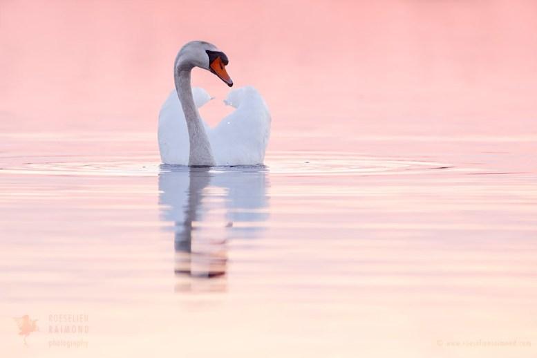 _X1B7870_swan_sunset