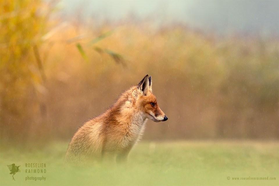 Red Fox in the Rain