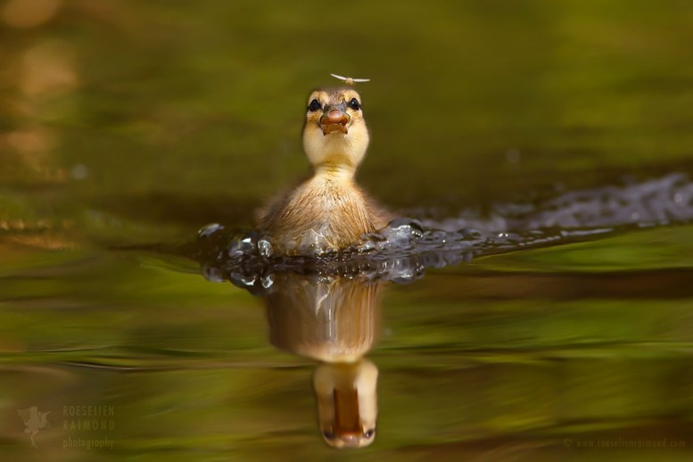 Natural Born Killer Duckling chasing a mosquito