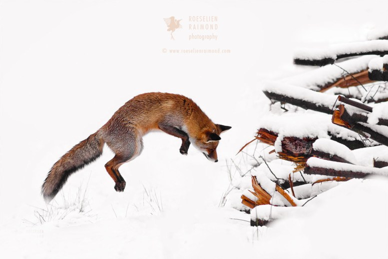 Red Fox Jumping in the Snow