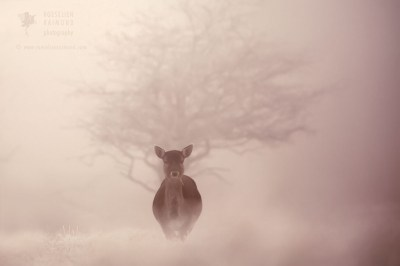 Fallow deer female on a very cold and misty winter morning.