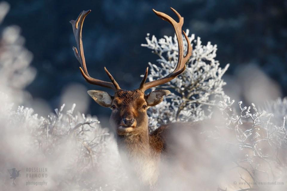 Wintery Deer