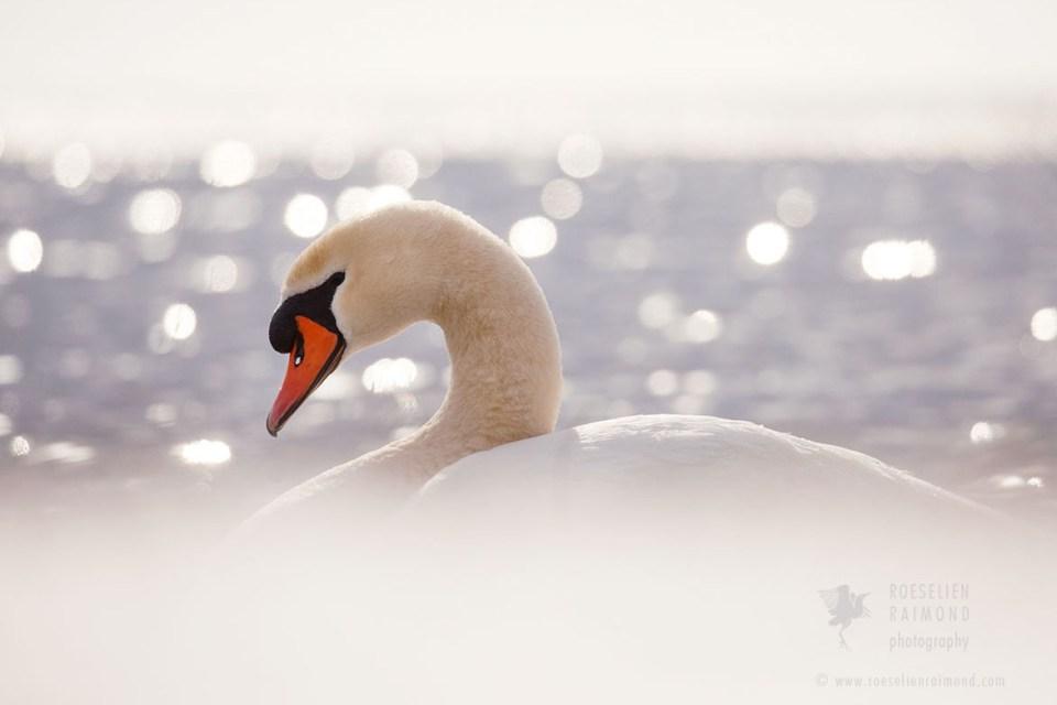 Swan in Winter Mood