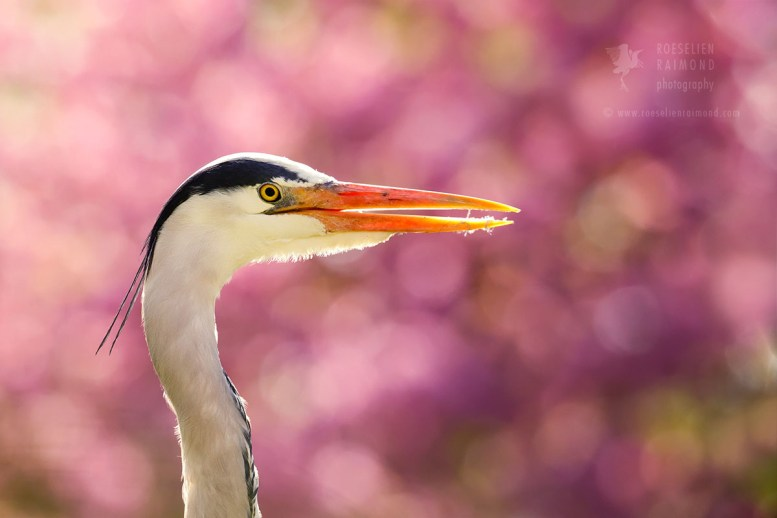Grey Heron and Pink Blossom