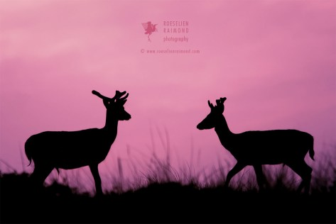 Two fallow deer against a pink / purple sunset