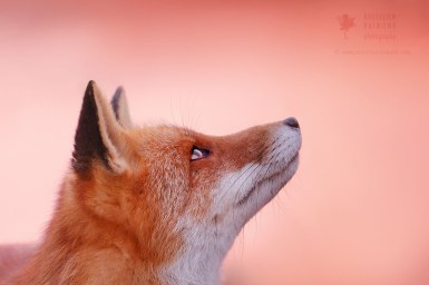 Te Red Fox and the Pink Sahara Dust Sky