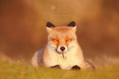 Chill Fox