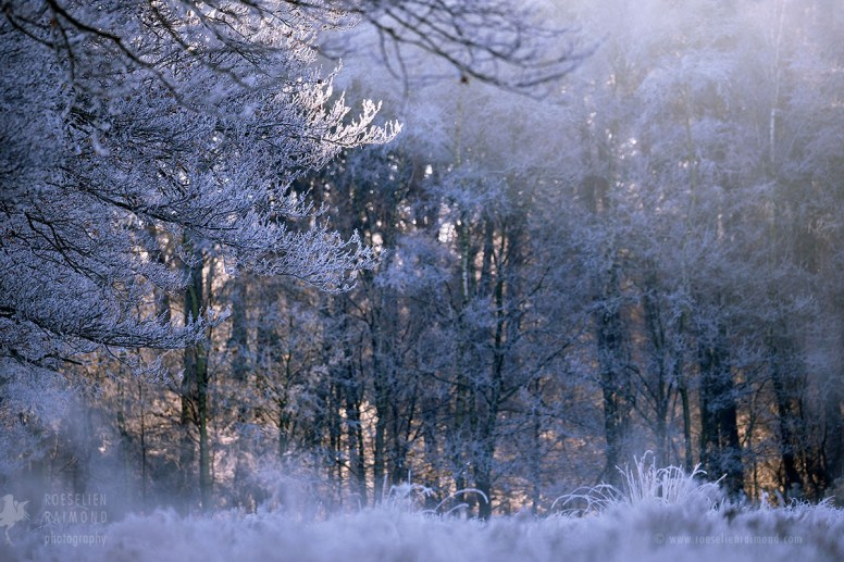 rime frost winter forest