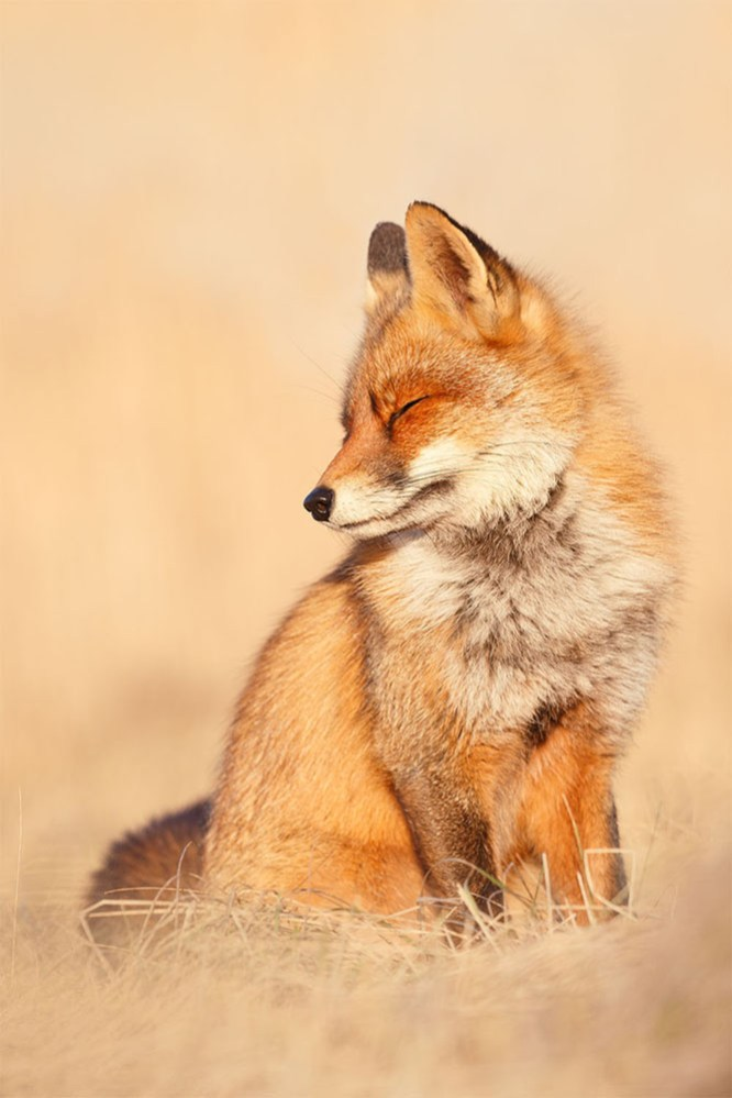 happy fox