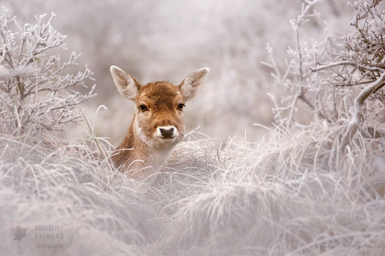 Fallow Deer and Frost