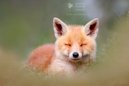 Zen Fox Kit