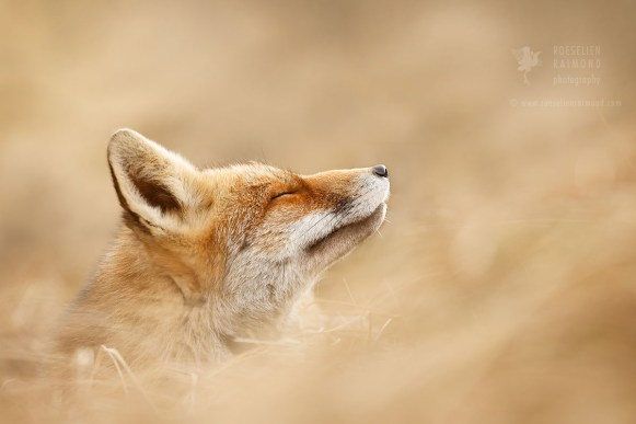 red fox eyes closed
