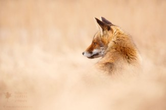 Red fox in red grass