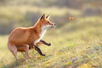fox playing with leaf