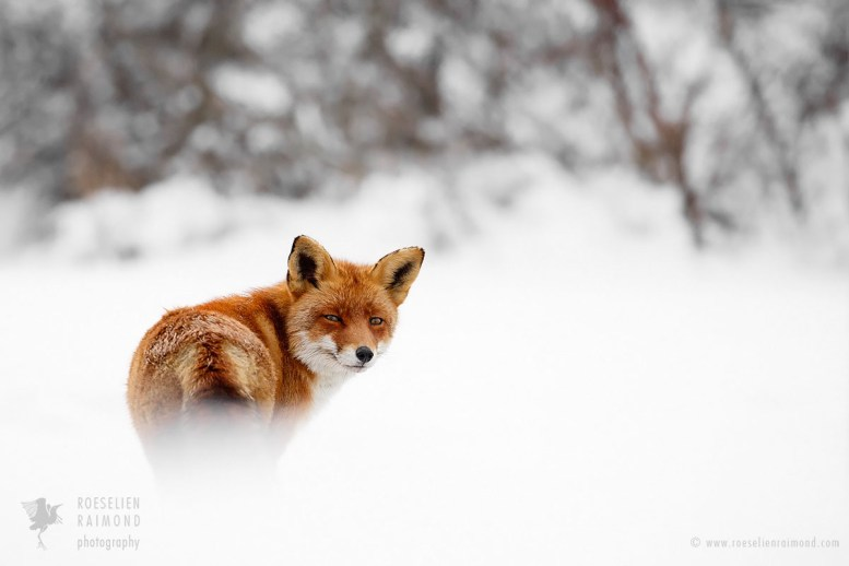 Red fox in the snow looking over its shoulder