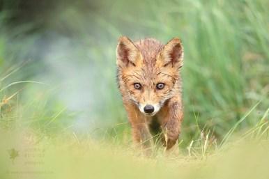 Red Fox Kit in the Rain