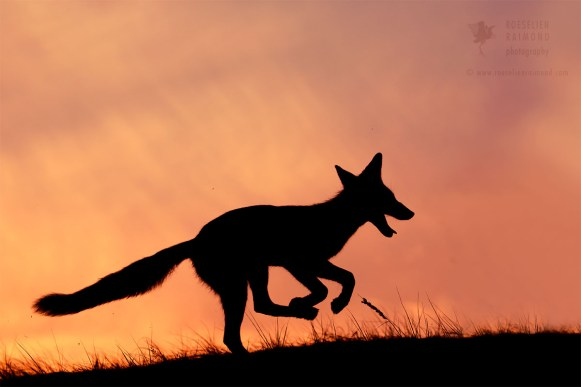Red fox silhouette at sunset