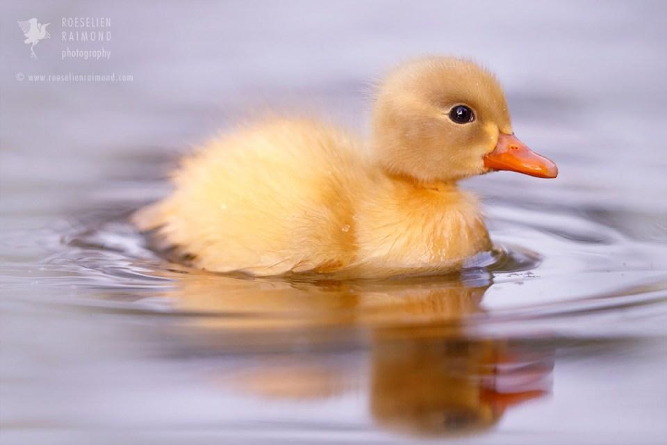Yellow duckling